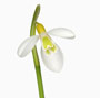 Galanthus 'Wendy´s Gold'